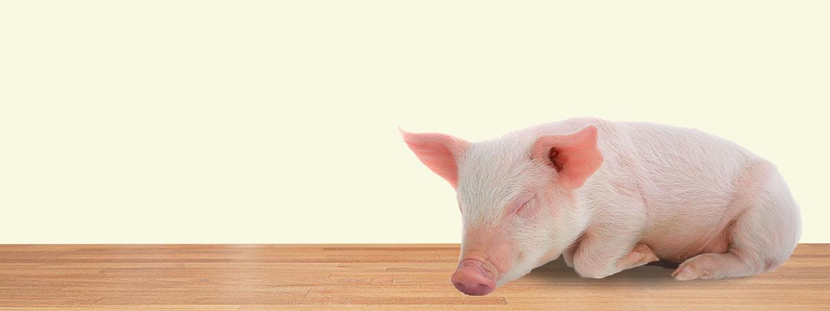 pig starter header image