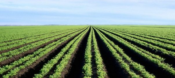 large field of crops