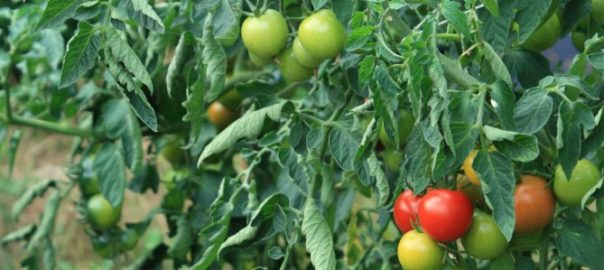 pictures of various tomatoes